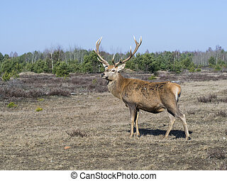 Red deer - Cervus elaphus