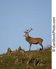 Red deer, Cervus elaphus, single male on rocky outcrop,...