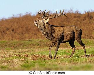 Red deer, Cervus elaphus, single male, Leciestershire,...