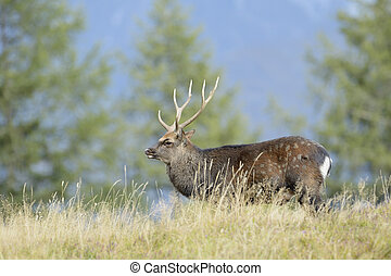 Red deer (Cervus elaphus) walking in high grass and in rut.