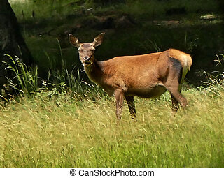 red deer chews grass on a meadow in Germany