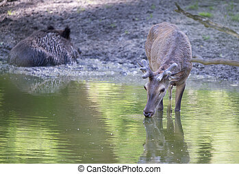 Red deer drinking water in forest