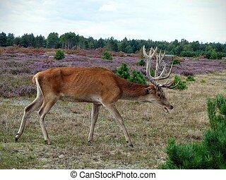 Red deer foraging for food