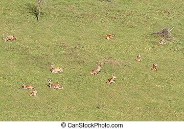 red deer herd relaxing