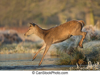 Red deer hind jumps into a stream of water
