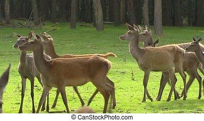 Red deer hinds in harem during rut - medium shot