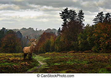 Red deer in Autumn Fall forest landscape - Red deer wildlife...