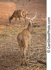red deer in field