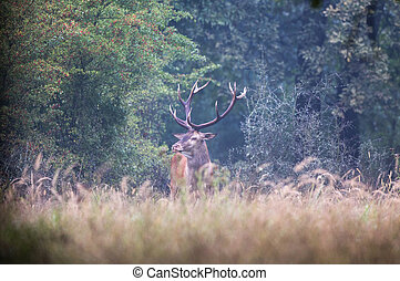 Red deer in forest