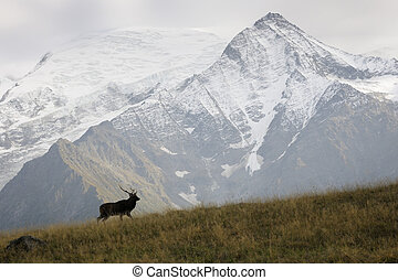 Red deer in front of Glacier - Red deer (Cervus elaphus)...