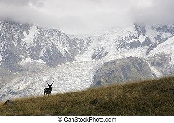 Red deer in front of glacier