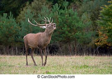 Red deer in mating season