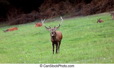 Red deer in rutting season. Deer stag roaring, bellow...