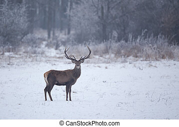 Red deer in snow - Red deer standing on snow with forest in...