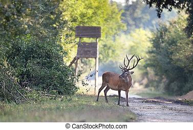 Red deer in summer