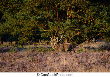 Male red deer (Cervus elaphus) in the heath during the rutting season in national park Hoge Veluwe in the Netherlands.