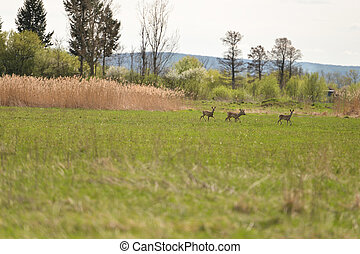 Red deer in the pasture, outdoors nature scene