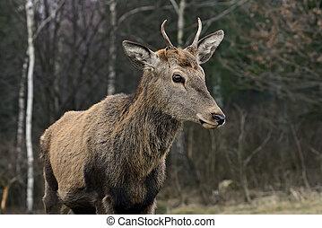 Red deer in their natural habitat