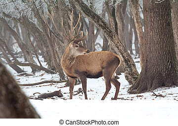 Red deer in winter