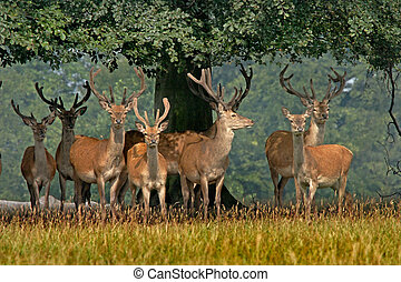 A herd of young Red deer in Yorkshire, England.