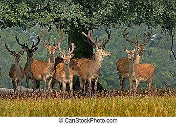 Red Deer in Yorkshire - A herd of young Red deer in...