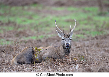 Red Deer laying in the grass.