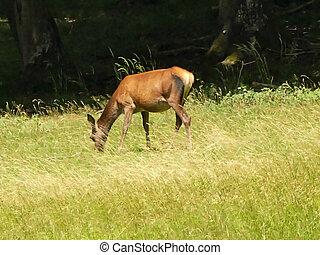 red deer on a meadow in Germany
