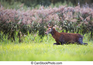 Red deer on the run