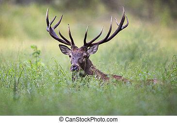Red deer portrait - Portrait of red deer with antlers in...