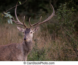 Red deer portrait - Portrait of red deer with antlers...