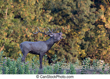 Red deer roaring in forest