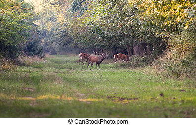 Red deer roaring