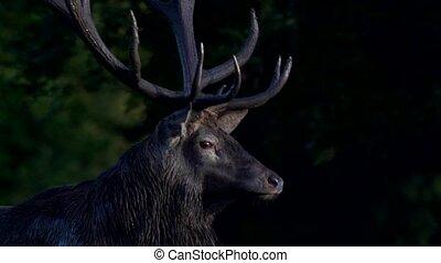 red deer rutting season