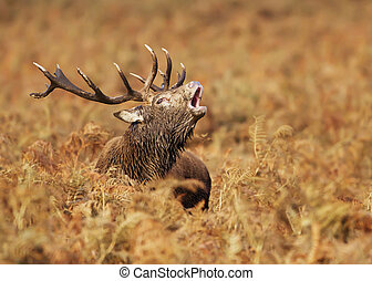 Red deer stag bellowing during mating season in autumn