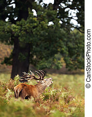 Red deer stag bellowing during rutting season