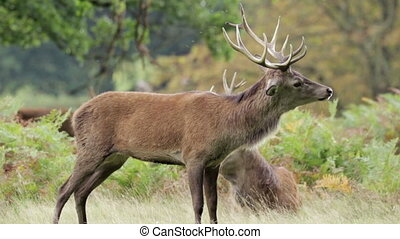 Red Deer stag (Cervus elaphus) with full antlers.