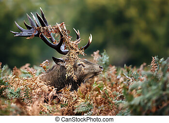 Red deer stag during a rutting season in autumn