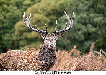 Red deer stag during rutting season in Autumn - Red deer ...