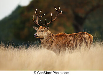 Red deer stag during rutting season