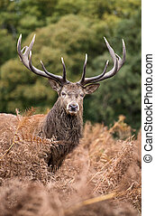 Red deer stag during rutting season in Autumn - Red deer...