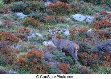 Red deer stag during the rut.