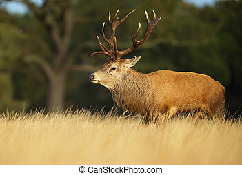 Red deer stag in autumn