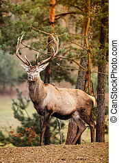 Red deer stag in autumn fall forest