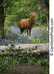 Red deer stag in beautiful bluebell forest landscape image with shallow depth of field