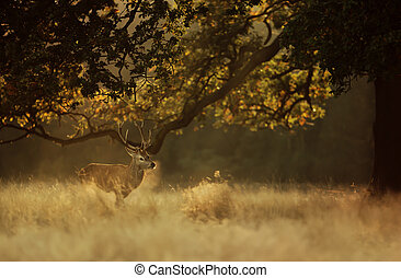 Red deer stag in early morning light