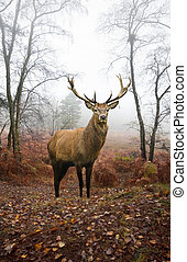 Red deer stag in foggy misty Autumn forest landscape at dawn...