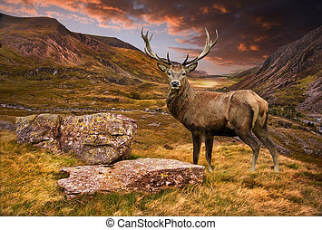 Red deer stag in moody dramatic mountain sunset landscape -...