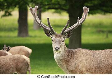 Red Deer Stag - Proud red deer stag showing his antler