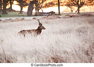 Red deer stag portrait in Autumn Fa