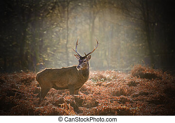 Red deer stag portrait in Autumn